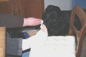Hund hilft beim Wechseln eines Verbandes